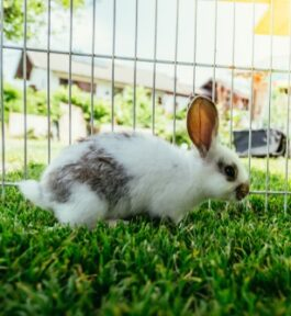 Kojec dla królika